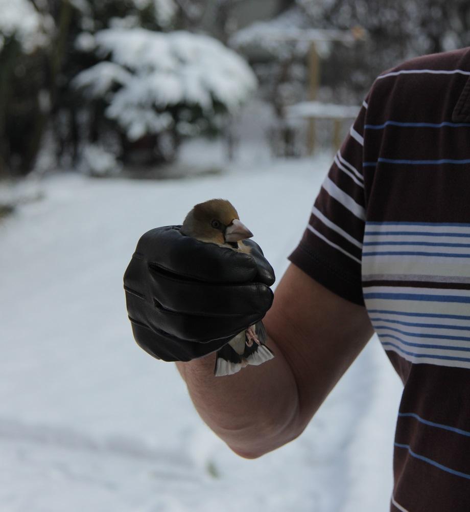 Ptaki_grobodziob_11