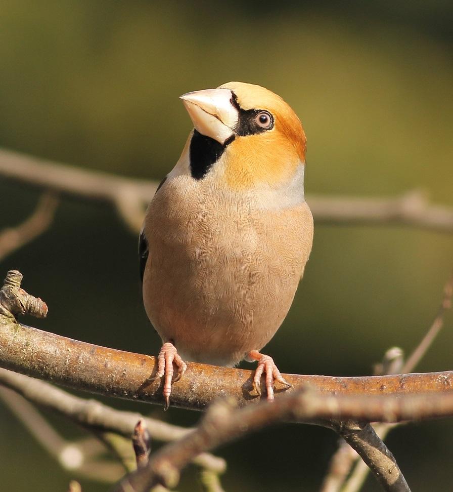 Ptaki_grobodziob_2