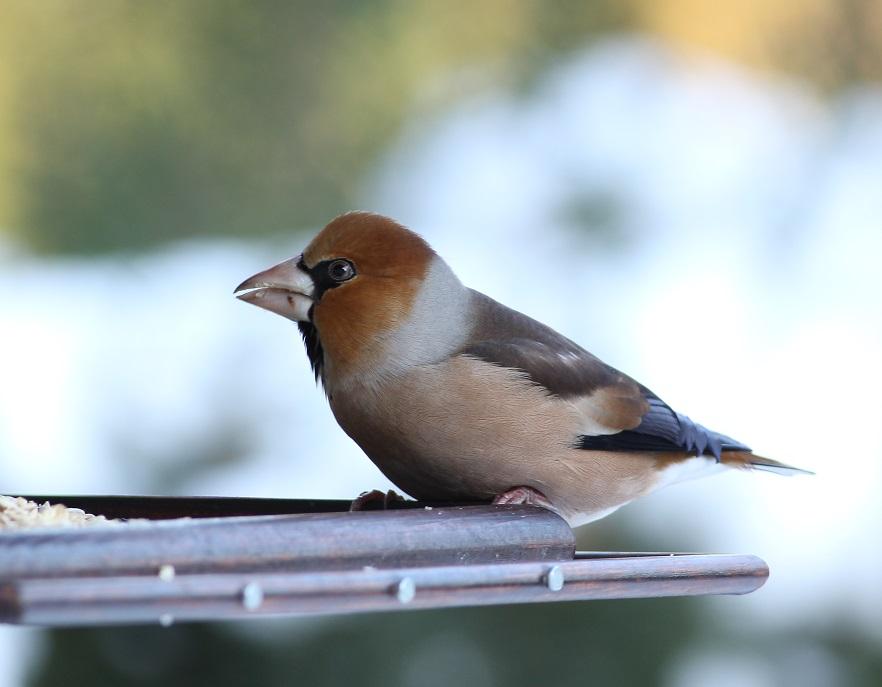 Ptaki_grobodziob_4