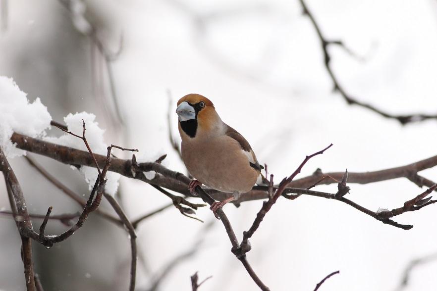 Ptaki_grobodziob_8