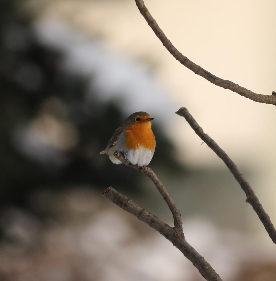 Ptaki_rudzik_07