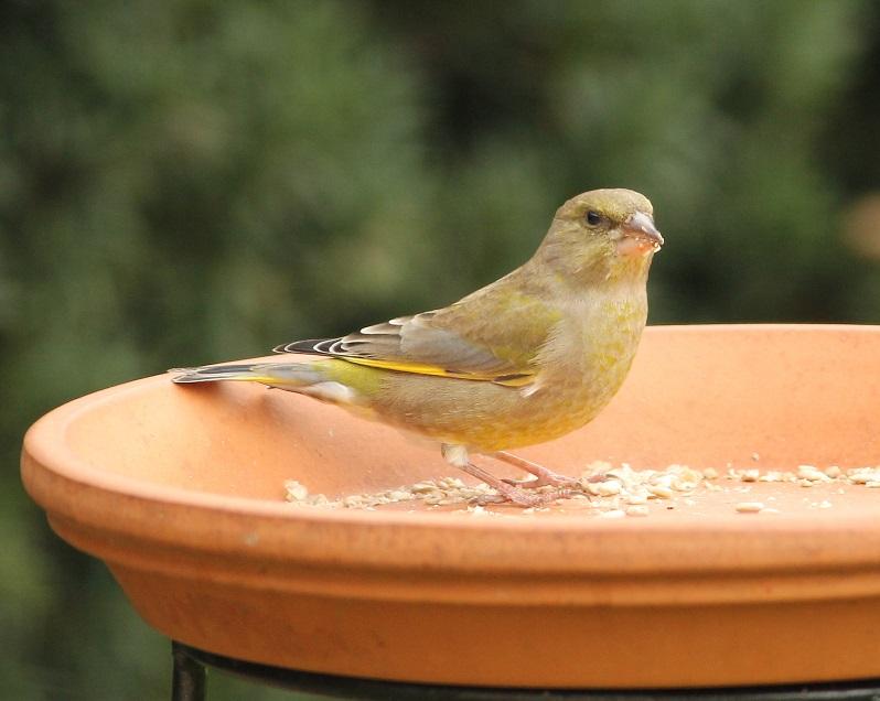 Ptaki_dzwoniec_20