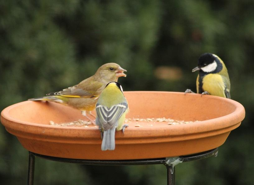 Ptaki_dzwoniec_21