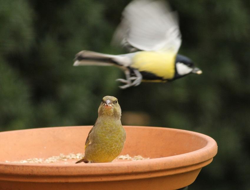 Ptaki_dzwoniec_22