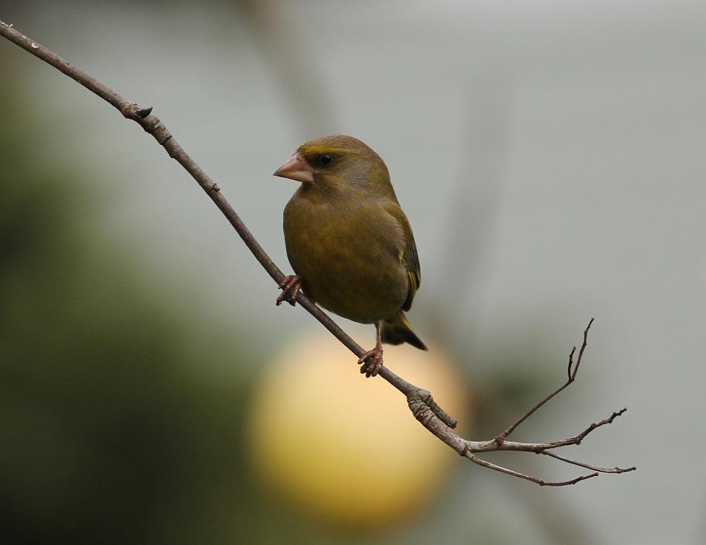 Ptaki_dzwoniec_01