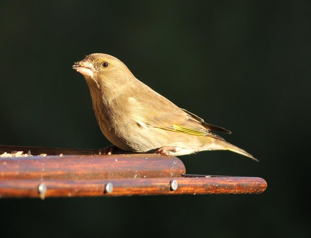 Ptaki_dzwoniec_02