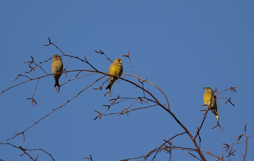 Ptaki_dzwoniec_07