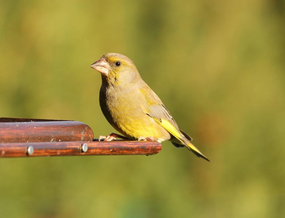 Ptaki_dzwoniec_10