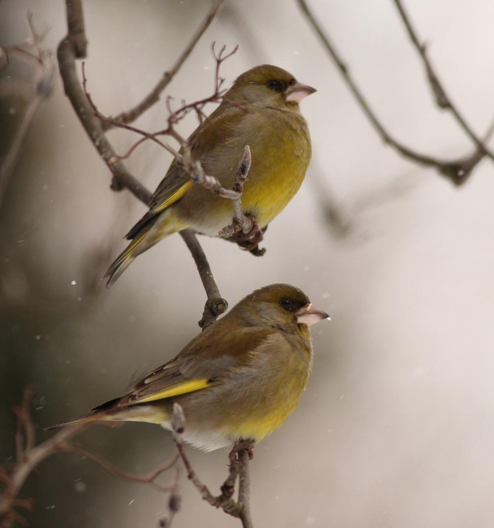 Ptaki_dzwoniec_12