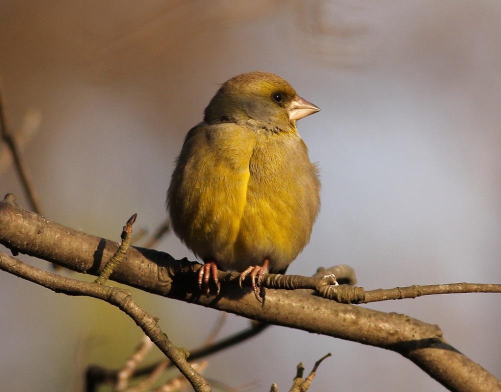 Ptaki_dzwoniec_13