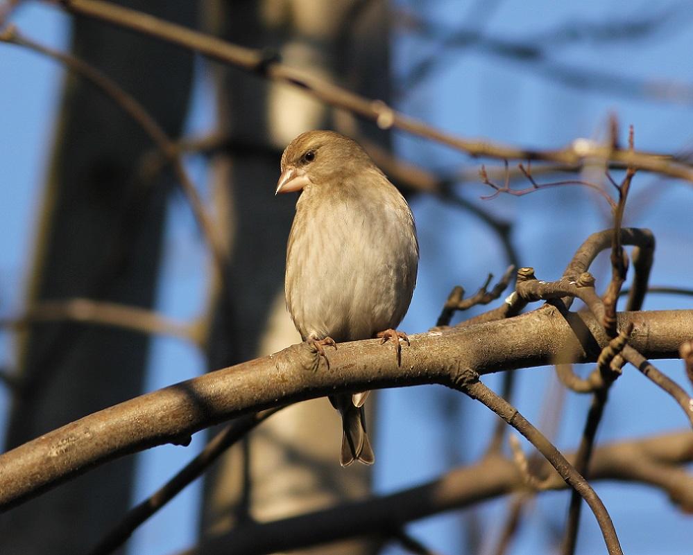 Ptaki_dzwoniec_14