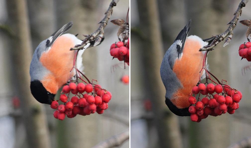 Ptaki_gil_03