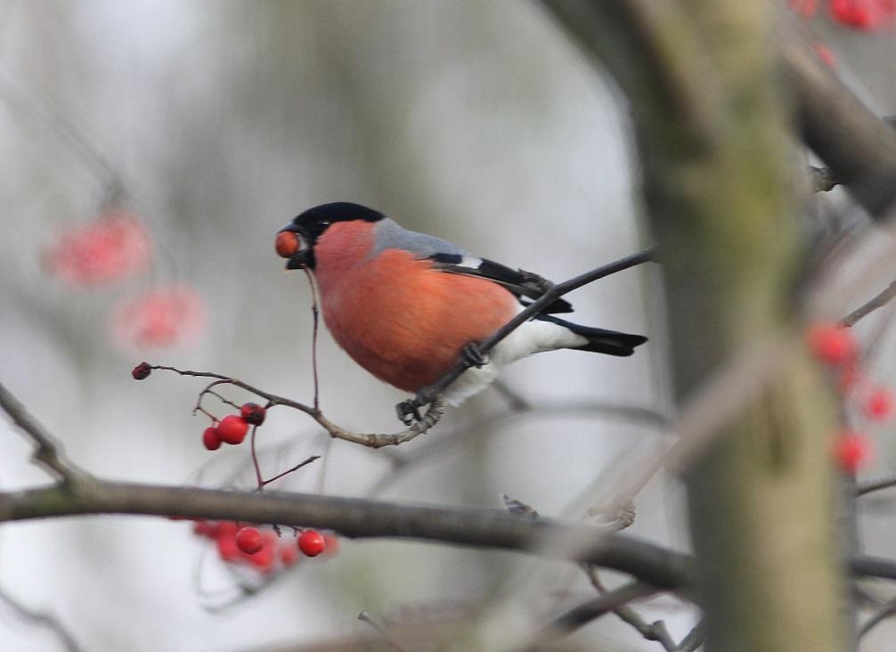 Ptaki_gil_08