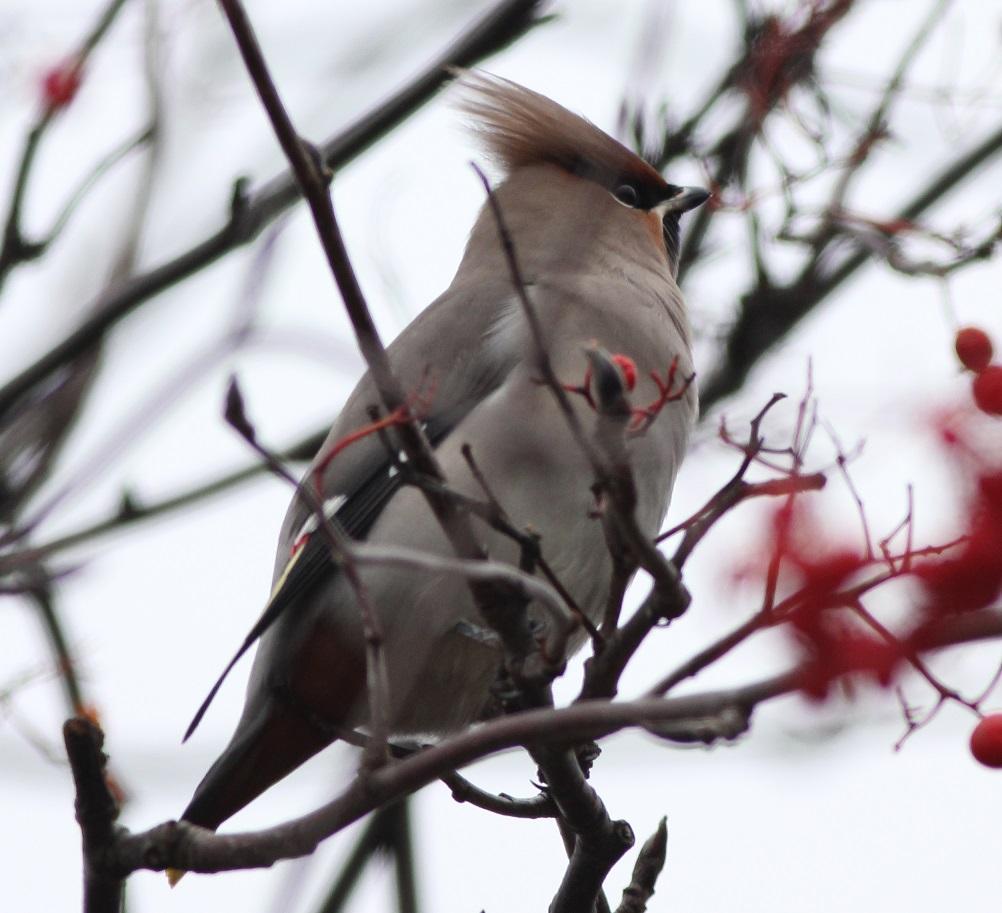 Ptaki_jemioluszka_01