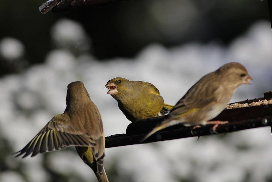Ptaki_snieg_18