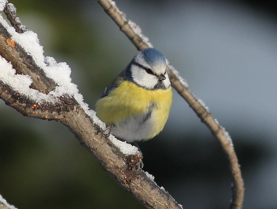 Ptaki_snieg_24
