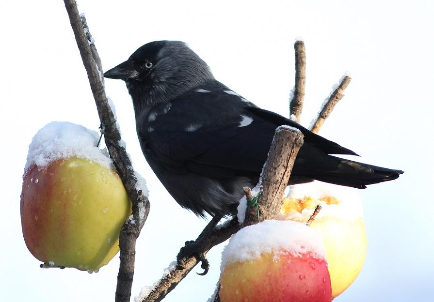 Ptaki_snieg_25
