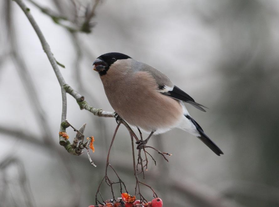Ptaki_snieg_34