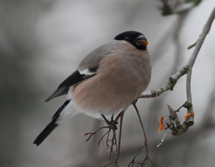 Ptaki_snieg_35