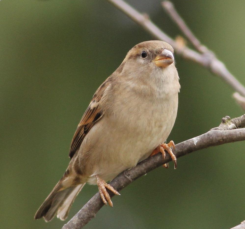 Ptaki_wrobel_03