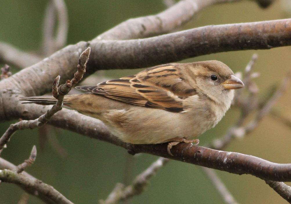 Ptaki_wrobel_05