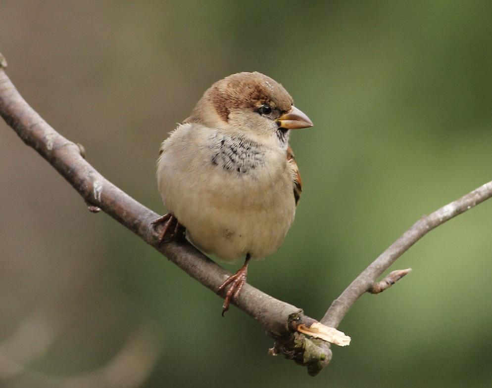 Ptaki_wrobel_06