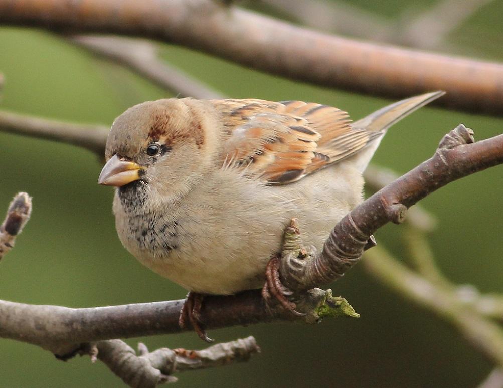 Ptaki_wrobel_07