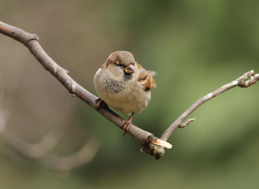 Ptaki_wrobel_08