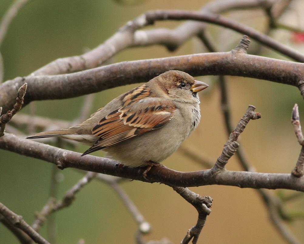 Ptaki_wrobel_09