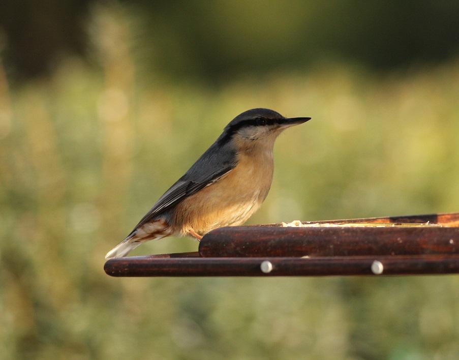Ptaki_03_kowalik