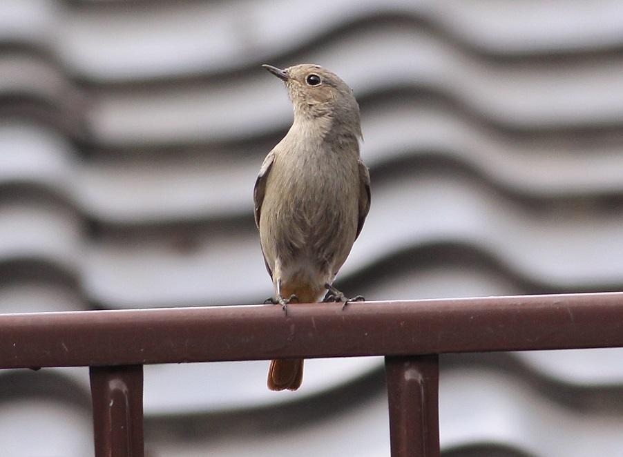 Ptaki_04_kopciuszek