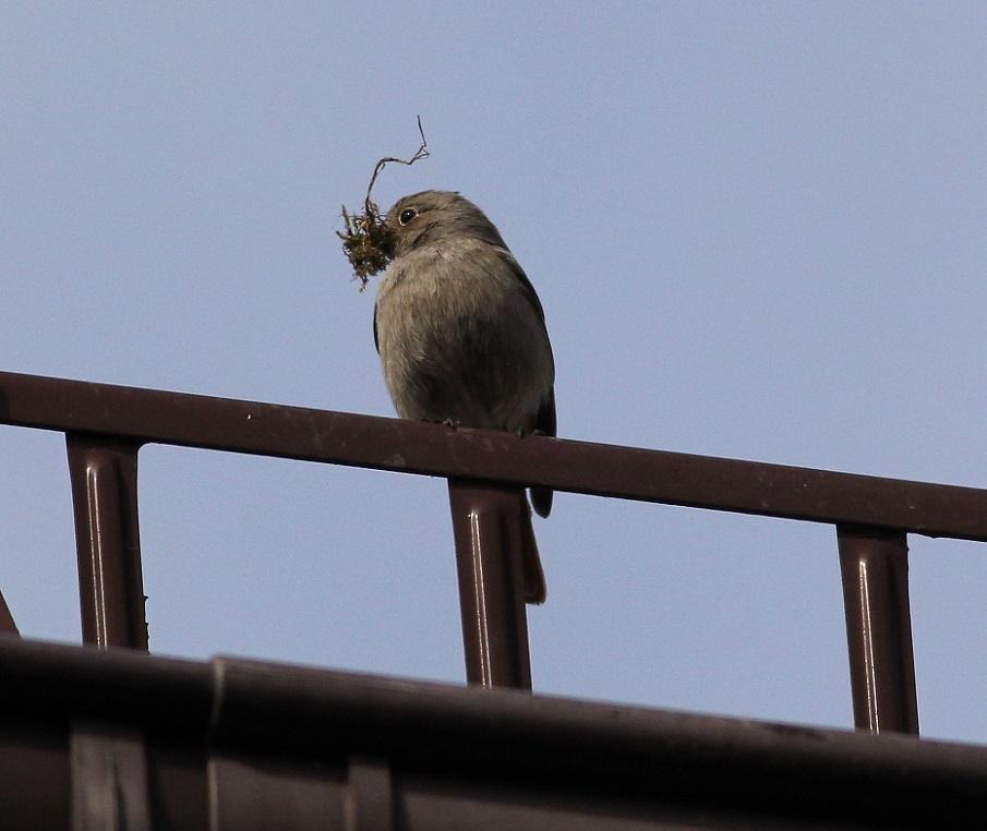 Ptaki_05_kopciuszek
