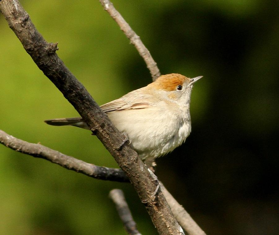 Ptaki_20_kapturka