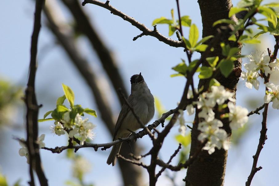 Ptaki_spiew_05
