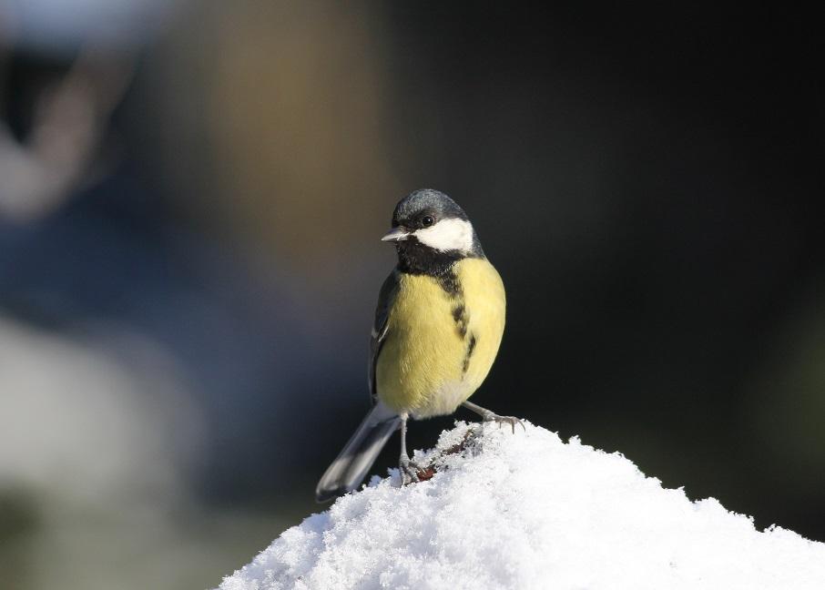 Ptaki_zimowe_01