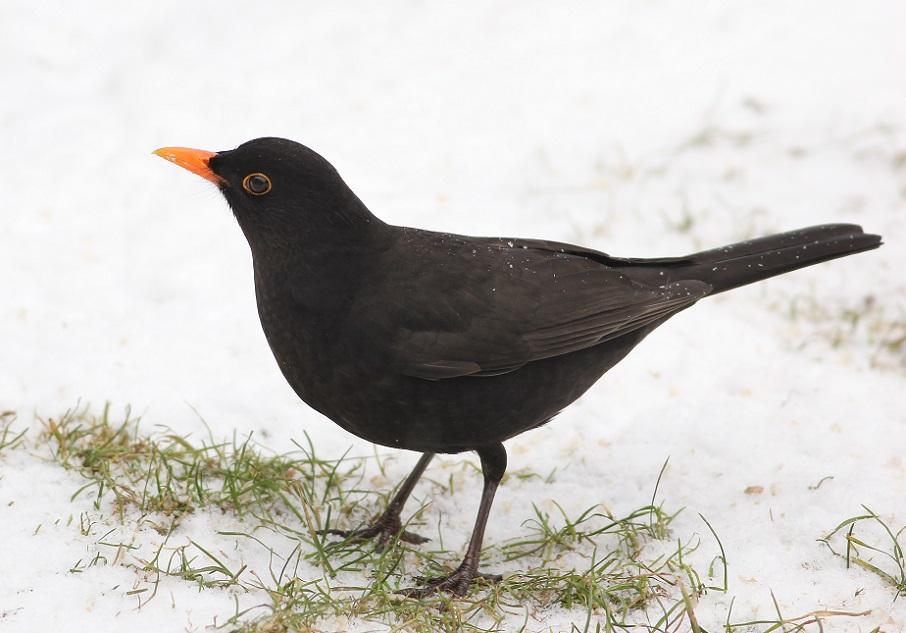 Ptaki_zimowe_10