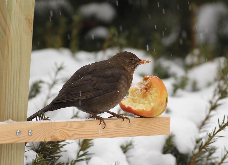 Ptaki_zimowe_11