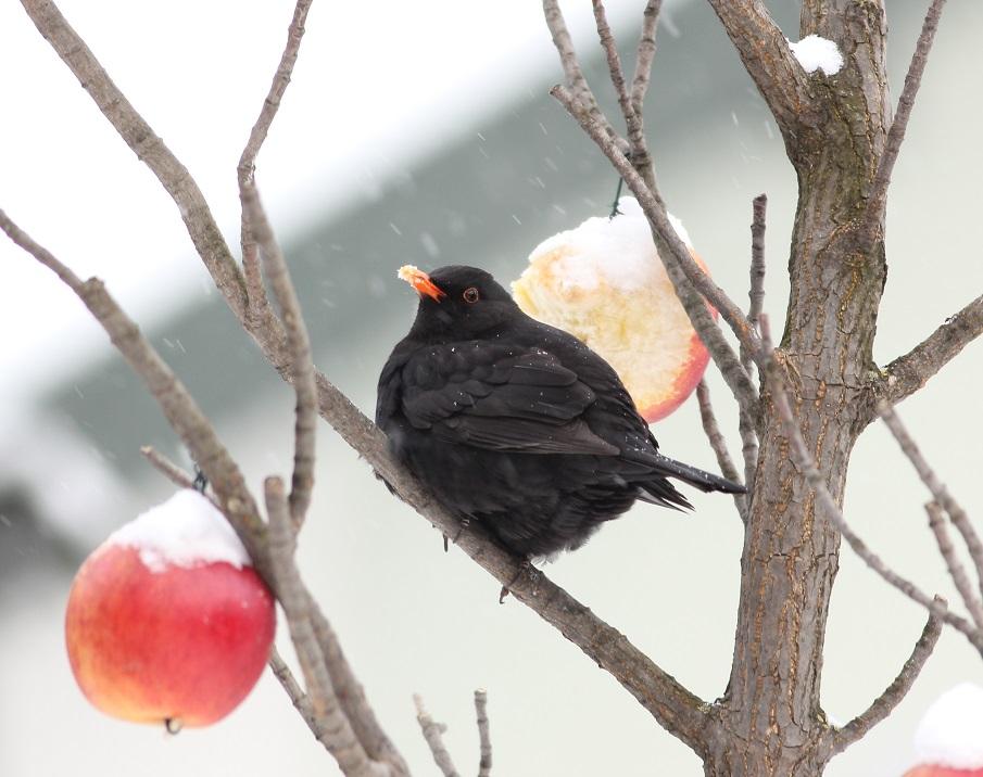 Ptaki_zimowe_12