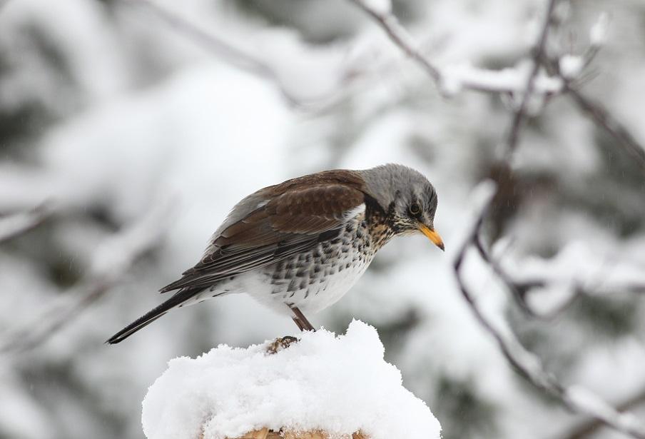 Ptaki_zimowe_13