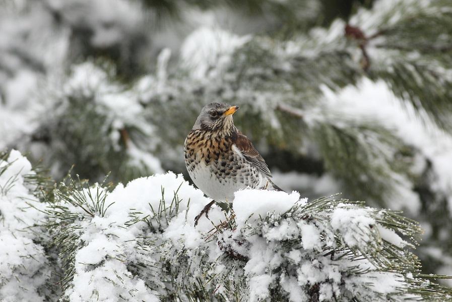 Ptaki_zimowe_14