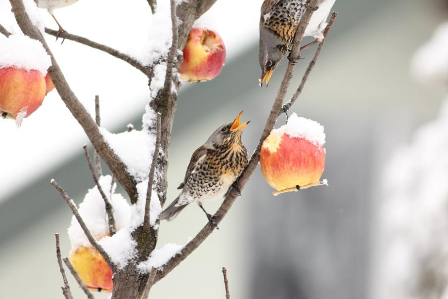 Ptaki_zimowe_15