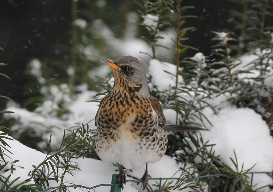Ptaki_zimowe_16