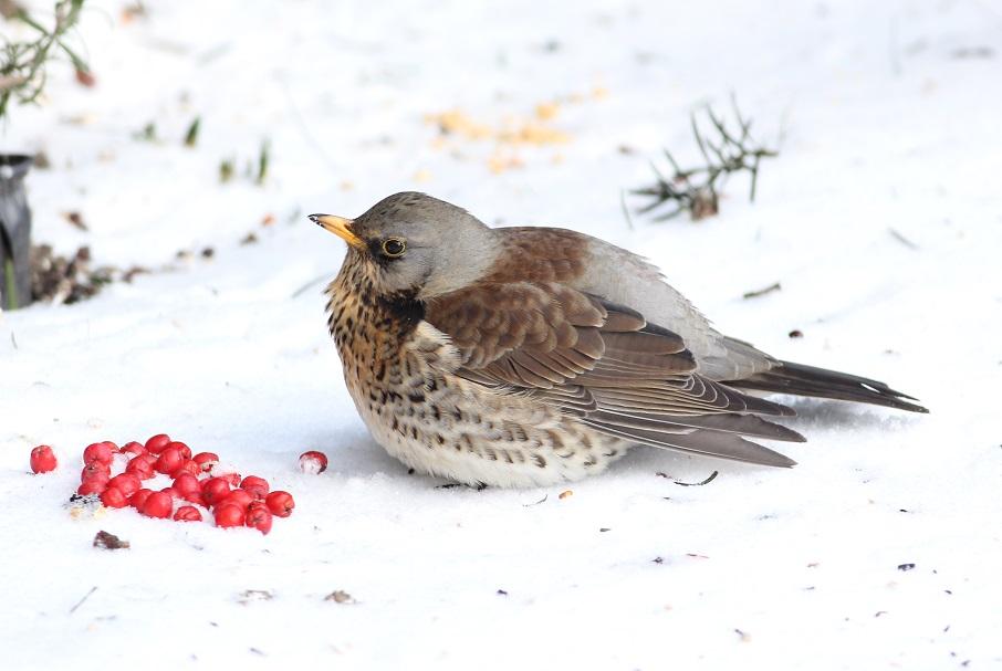 Ptaki_zimowe_16a