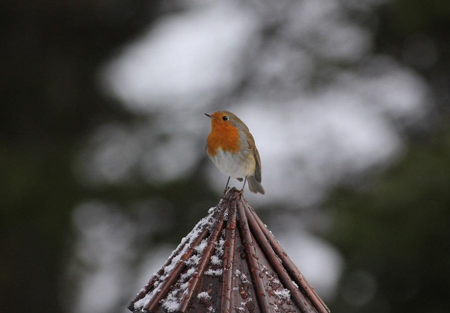 Ptaki_zimowe_17
