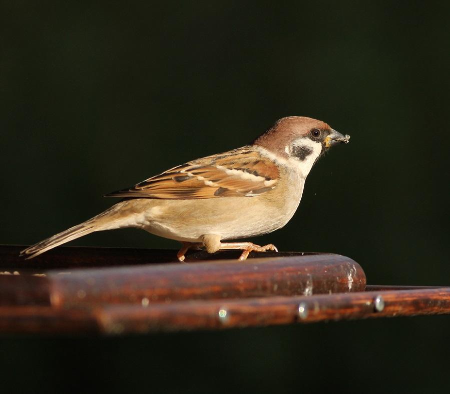 Pospolite_ptaki_13