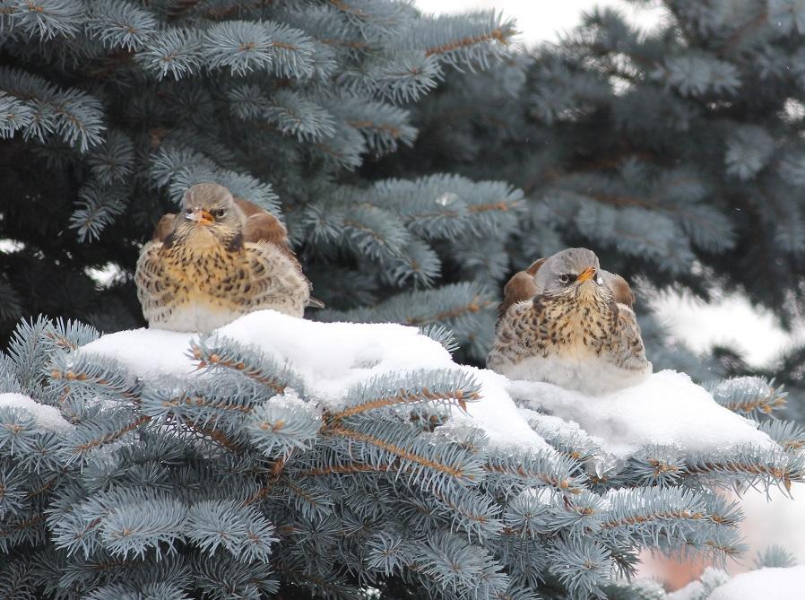 Ptaki_zimno_01