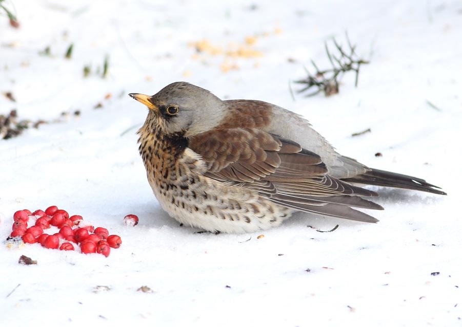 Ptaki_zimno_02