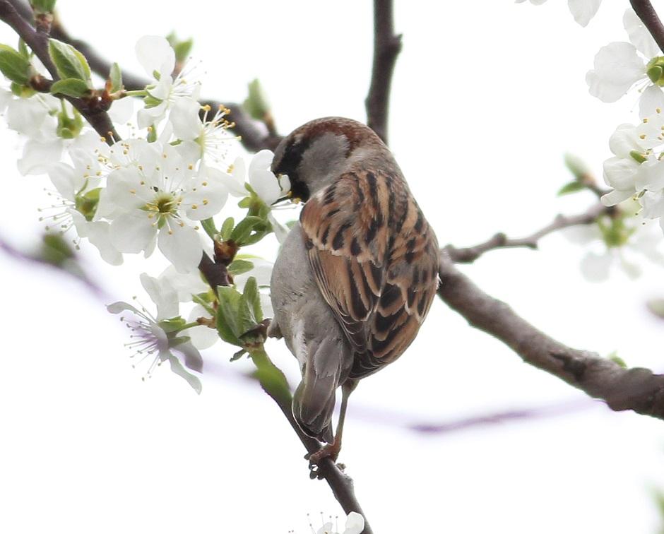 Ptaki_nektar_11