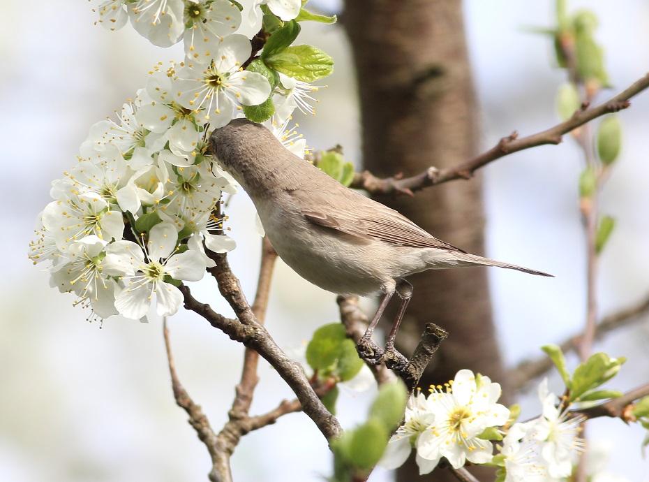 Ptaki_nektar_16
