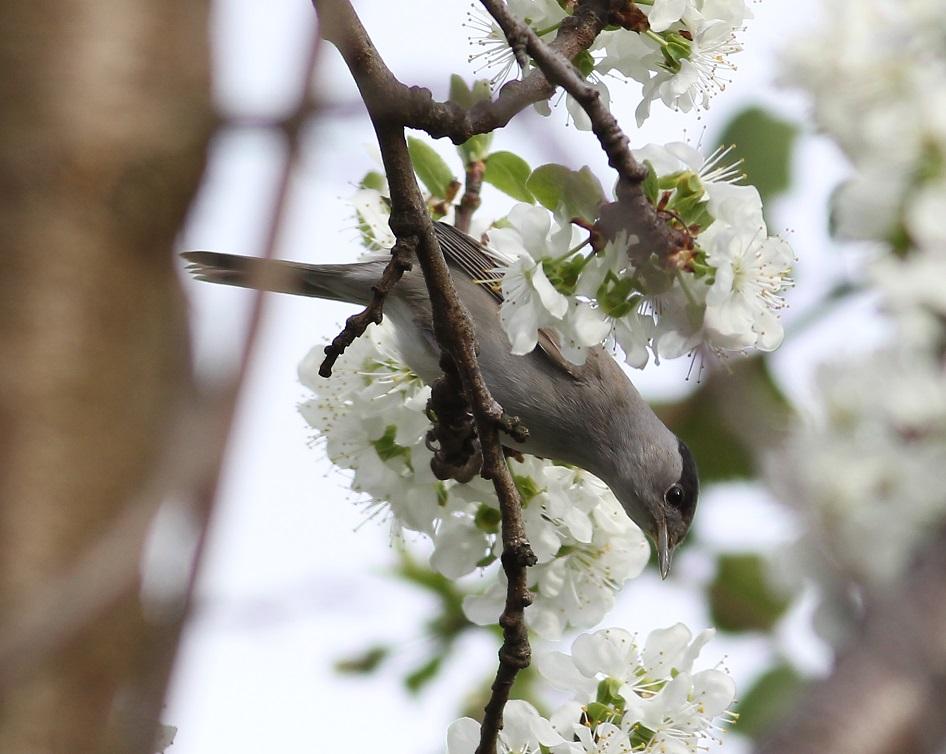 Ptaki_nektar_17